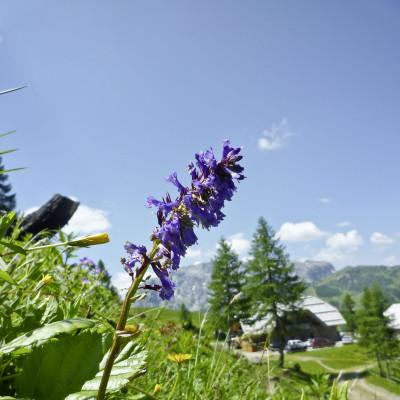Die Wulfenia - die seltene Blume wächst hier am Nassfeld